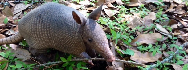 Baby Armadillo at Avery Island