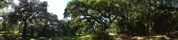 Live Oaks at Avery Island