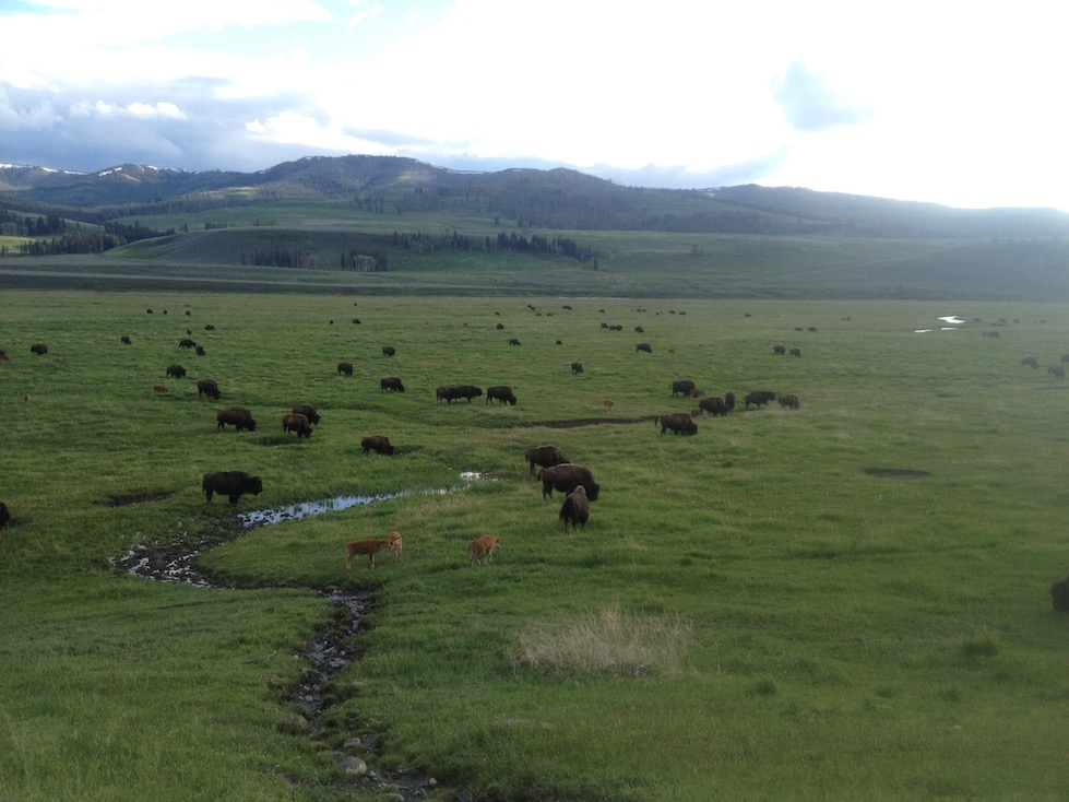 Bison and their frolicking young on the grassy plains