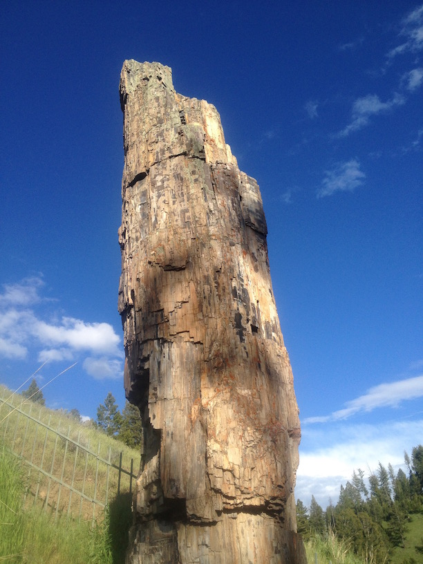 Petrified Redwood